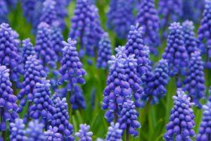 hyacinth-21687_1280